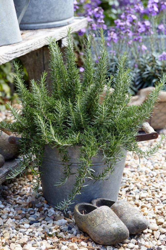 Salvia rosmarinus (Prostrata Group)